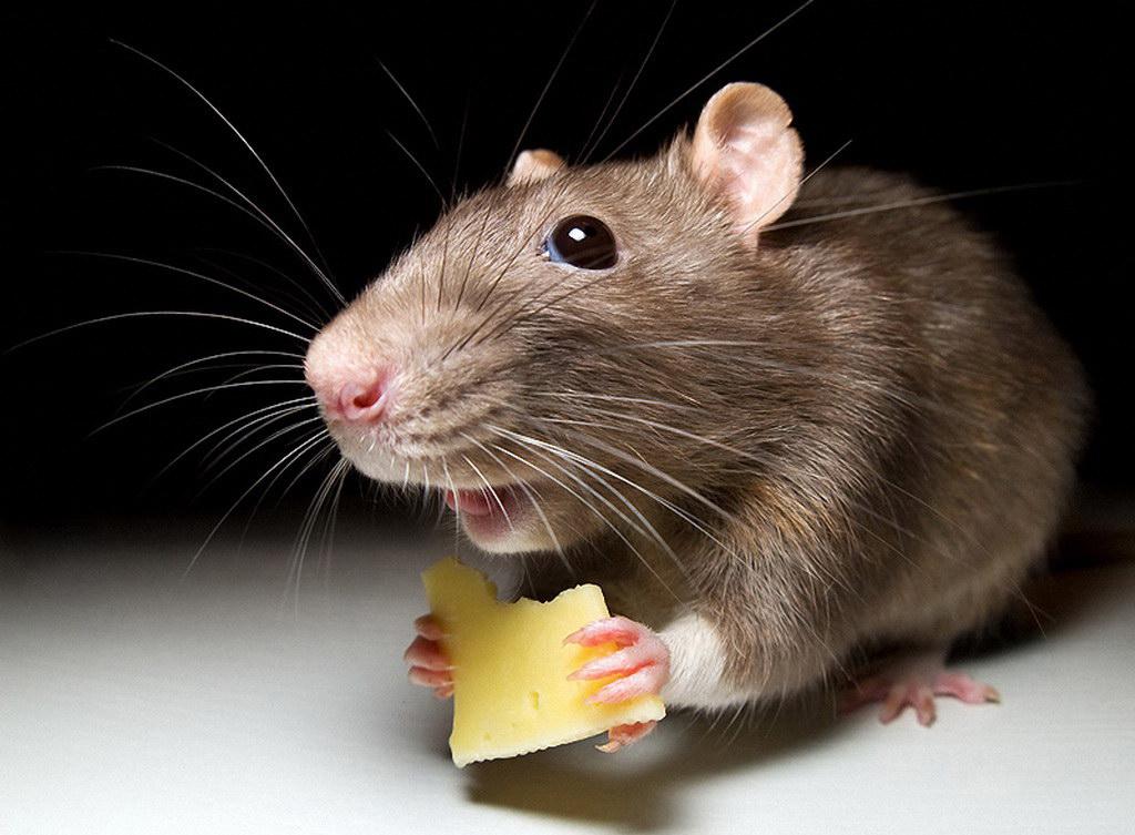 Comment se débarrasser des souris dans le pays: TOP-5 façons
