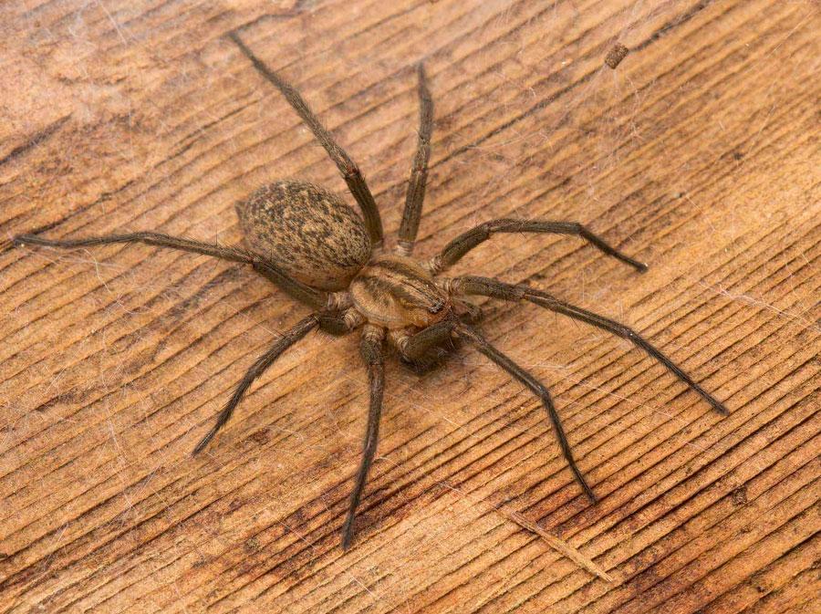 15 façons de se débarrasser des araignées dans la maison